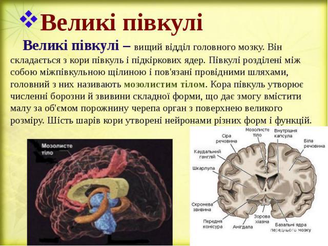 Великі півкулі Великі півкулі – вищий відділ головного мозку. Він складається з кори півкуль і підкіркових ядер. Півкулі розділені між собою міжпівкульною щілиною і пов'язані провідними шляхами, головний з них називають мозолистим тілом. Кора півкул…