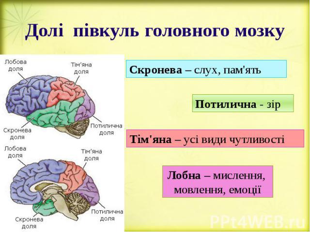 Долі півкуль головного мозку