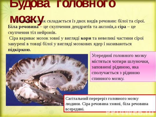Будова головного мозку Головний мозок складається із двох видів речовин: білої та сірої. Біла речовина – це скупчення дендритів та аксонів,а сіра – це скупчення тіл нейронів. Сіра вкриває мозок зовні у вигляді кори та невеликі частини сірої занурені…