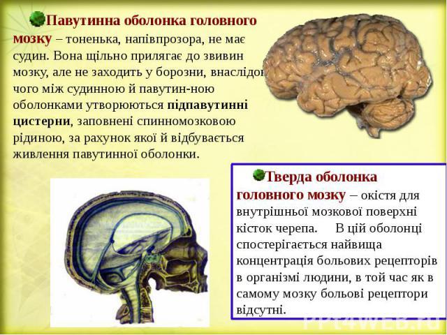 Павутинна оболонка головного мозку – тоненька, напівпрозора, не має судин. Вона щільно прилягає до звивин мозку, але не заходить у борозни, внаслідок чого між судинною й павутин-ною оболонками утворюються підпавутинні цистерни, заповнені спинномозко…