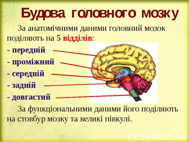Будова головного мозку За анатомічними даними головний мозок поділяють на 5 відділів: - передній - проміжний - середній - задній - довгастий За функціональними даними його поділяють на стовбур мозку та великі півкулі.