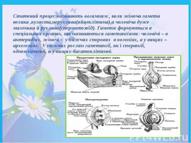 Статевий процес називають оогамним , коли жіноча гамета велика ,куляста,нерухлива(яйцеклітина),а чоловіча дуже маленька й рухлива(сперматозоїд). Гамети формуються в спеціальних органах, що називаються гаметангіями: чоловічі – в антеридіях, жіночі - …