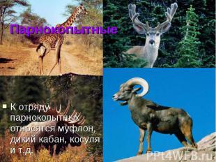 Парнокопытные К отряду парнокопытных относятся муфлон, дикий кабан, косуля и т.д