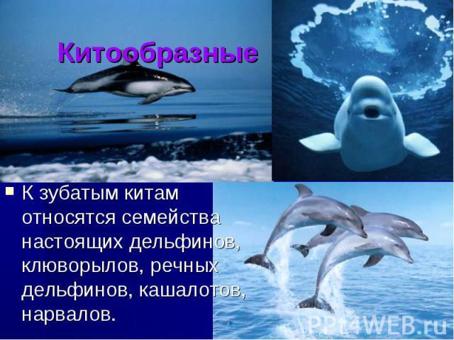 Китообразные К зубатым китам относятся семейства настоящих дельфинов, клюворылов, речных дельфинов, кашалотов, нарвалов.