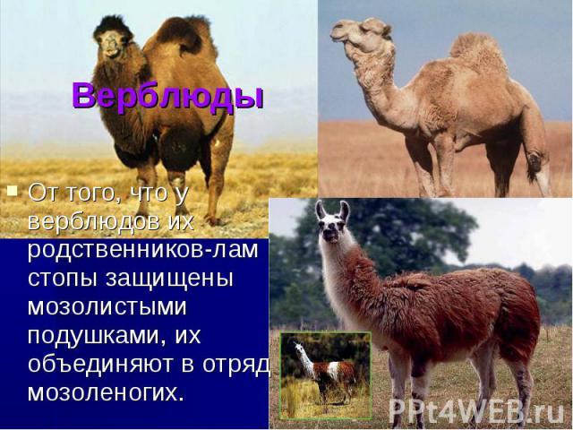 Верблюды От того, что у верблюдов их родственников-лам стопы защищены мозолистыми подушками, их объединяют в отряд мозоленогих.