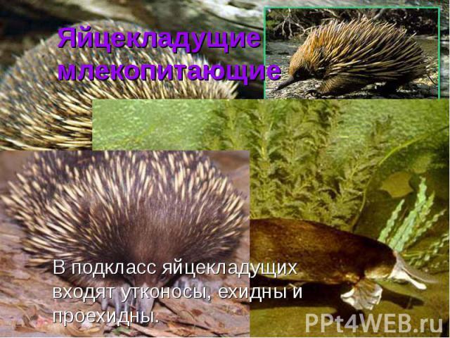 Яйцекладущие млекопитающие В подкласс яйцекладущих входят утконосы, ехидны и проехидны.