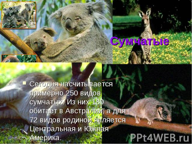 Сумчатые Сегодня насчитывается примерно 250 видов сумчатых. Из них 180 обитает в Австралии, а для 72 видов родиной является Центральная и Южная Америка.
