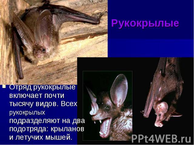 Рукокрылые Отряд рукокрылые включает почти тысячу видов. Всех рукокрылых подразделяют на два подотряда: крыланов и летучих мышей.