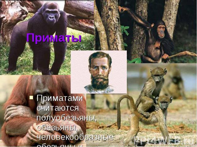 Приматы Приматами считаются полуобезьяны, обезьяны, человекообразные обезьяны и ЧЕЛОВЕК.