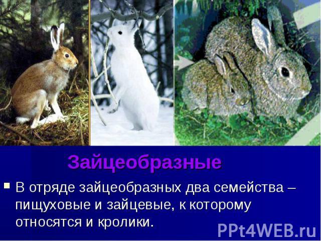 Зайцеобразные В отряде зайцеобразных два семейства – пищуховые и зайцевые, к которому относятся и кролики.