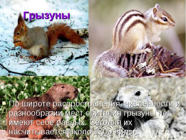 Грызуны По широте распространения, численности и разнообразии мест обитания грызуны не имеют себе равных. Сегодня их насчитывается около 1700 видов.