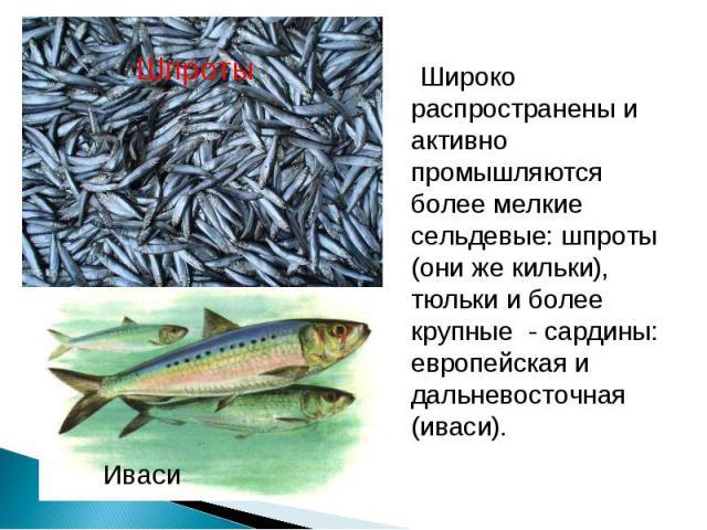 Широко распространены и активно промышляются более мелкие сельдевые: шпроты (они же кильки), тюльки и более крупные - сардины: европейская и дальневосточная (иваси). Широко распространены и активно промышляются более мелкие сельдевые: шпроты (они же…