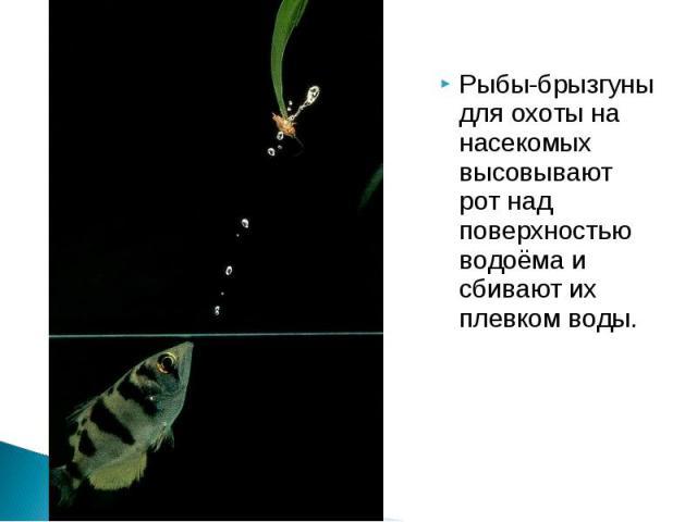 Рыбы-брызгуны для охоты на насекомых высовывают рот над поверхностью водоёма и сбивают их плевком воды.