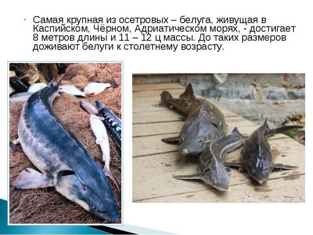 Самая крупная из осетровых – белуга, живущая в Каспийском, Чёрном, Адриатическом морях, - достигает 8 метров длины и 11 – 12 ц массы. До таких размеров доживают белуги к столетнему возрасту. Самая крупная из осетровых – белуга, живущая в Каспийском,…