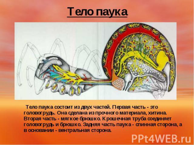 Тело паука состоит из двух частей. Первая часть - это головогрудь. Она сделана из прочного материала, хитина. Вторая часть - мягкое брюшко. Крошечная труба соединяет головогрудь и брюшко. Задняя часть паука - спинная сторона, а в основании - вентрал…