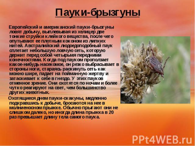 Европейский и американский пауки-брызгуны ловят добычу, выплевывая из хелицер две тонкие струйки клейкого вещества, после чего опутывают ее плотным коконом из липких нитей. Австралийский людоедоподобный паук сплетает небольшую ловчую сеть, которую д…