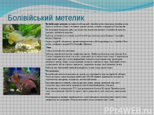 Болівійський метелик Болівійський метелик-це ендемічний вид риб з басейну річки