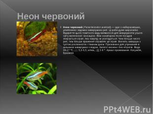 Неон червоний Неон червоний (Paracheirodon axelrodi)— одні з найкрасивіших