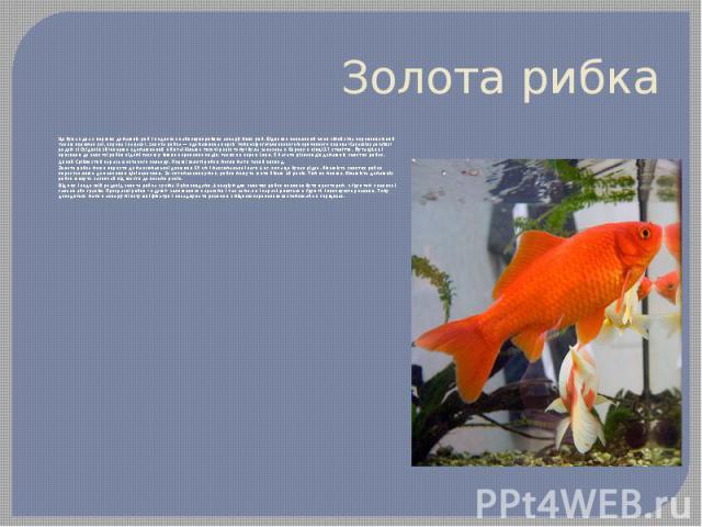 Золота рибка Це була одна з перших домашніх риб і є одною з найпопулярніших акваріумних риб. Відносно невеликий член сімейства коропових(який також включає коі, коропа і карася), золота рибка— одомашнена версія темносірого/оливковoго/коричнєво…