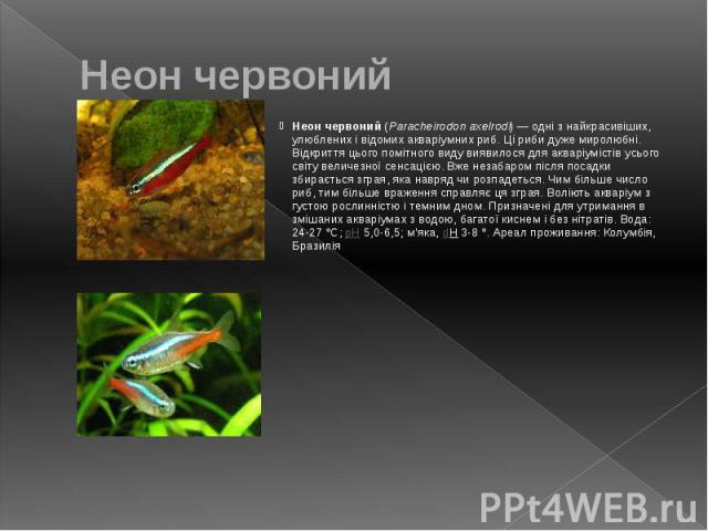 Неон червоний Неон червоний (Paracheirodon axelrodi)— одні з найкрасивіших, улюблених і відомих акваріумних риб. Ці риби дуже миролюбні. Відкриття цього помітного виду виявилося для акваріумістів усього світу величезної сенсацією. Вже незабаро…