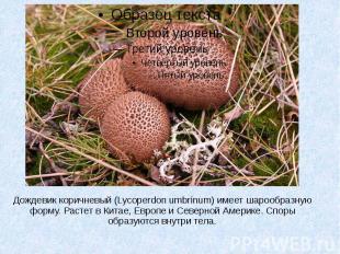 Дождевик коричневый (Lycoperdon umbrinum) имеет шарообразную форму. Растет в Кит