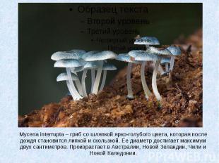 Mycena interrupta – гриб со шляпкой ярко-голубого цвета, которая после дождя ста