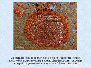 Ксантория элегантная (Xanthoria elegans) растет на камнях, зачастую рядом с птич