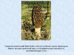 Сморчок конический (Morchella conica) особенно ценят французы. Имеет весьма прия