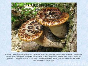 Трутовик чешуйчатый (Polyporus squamosus) – один из самых часто встречаемых гриб