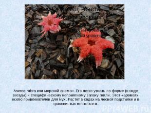 Aseroe rubra или морской анемон. Его легко узнать по форме (в виде звезды) и спе
