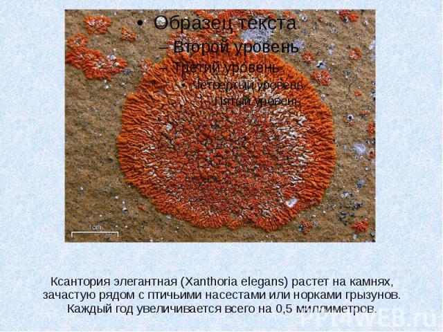 Ксантория элегантная (Xanthoria elegans) растет на камнях, зачастую рядом с птичьими насестами или норками грызунов. Каждый год увеличивается всего на 0,5 миллиметров.
