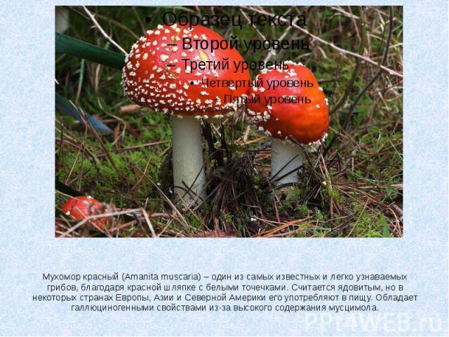 Мухомор красный (Amanita muscaria) – один из самых известных и легко узнаваемых грибов, благодаря красной шляпке с белыми точечками. Считается ядовитым, но в некоторых странах Европы, Азии и Северной Америки его употребляют в пищу. Обладает галлюцин…