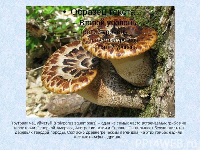 Трутовик чешуйчатый (Polyporus squamosus) – один из самых часто встречаемых грибов на территории Северной Америки, Австралии, Азии и Европы. Он вызывает белую гниль на деревьях твердой породы. Согласно древнегреческим легендам, на этих грибах ездили…
