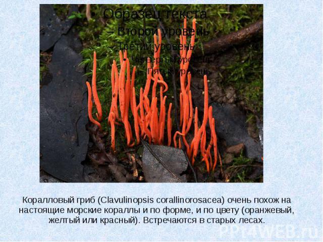 Коралловый гриб (Clavulinopsis corallinorosacea) очень похож на настоящие морские кораллы и по форме, и по цвету (оранжевый, желтый или красный). Встречаются в старых лесах.