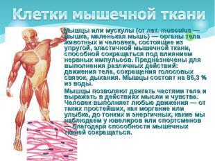 Мышцы или мускулы (от лат. musculus — мышка, маленькая мышь) — органы тела живот