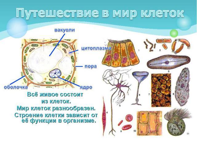 Всё живое состоит из клеток. Мир клеток разнообразен. Строение клетки зависит от её функции в организме.