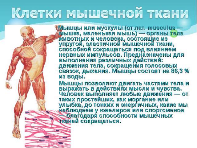 Мышцы или мускулы (от лат. musculus — мышка, маленькая мышь) — органы тела животных и человека, состоящие из упругой, эластичной мышечной ткани, способной сокращаться под влиянием нервных импульсов. Предназначены для выполнения различных действий: д…