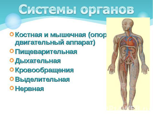 Костная и мышечная (опорно-двигательный аппарат) Костная и мышечная (опорно-двигательный аппарат) Пищеварительная Дыхательная Кровообращения Выделительная Нервная