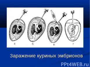 Заражение куриных эмбрионов Заражение куриных эмбрионов