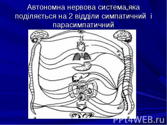 Автономна нервова система,яка поділяється на 2 відділи симпатичний і парасимпатичний