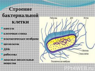 Строение бактериальной клетки капсула клеточная стенка плазматическая мембрана ц