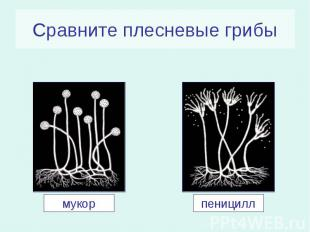 Сравните плесневые грибы