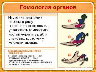 Гомология органов Гомология слуховых косточек позвоночных 1–череп ко