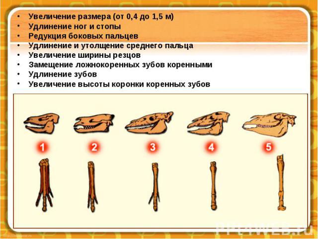 Увеличение размера (от 0,4 до 1,5 м) Удлинение ног и стопы Редукция боковых пальцев Удлинение и утолщение среднего пальца Увеличение ширины резцов Замещение ложнокоренных зубов коренными Удлинение зубов Увеличение высоты коронки коренных зубов