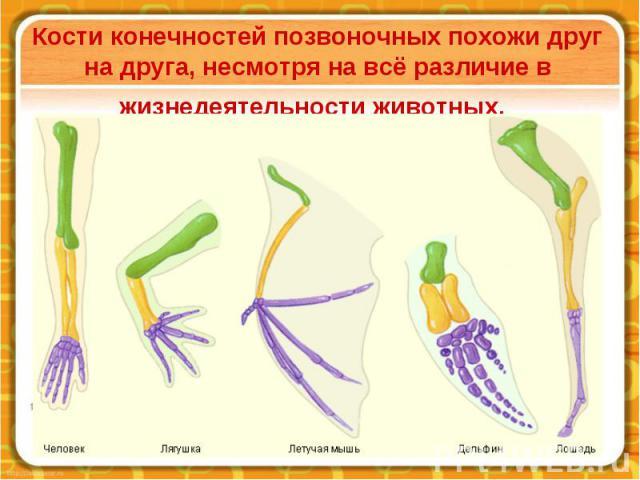 Кости конечностей позвоночных похожи друг на друга, несмотря на всё различие в жизнедеятельности животных.