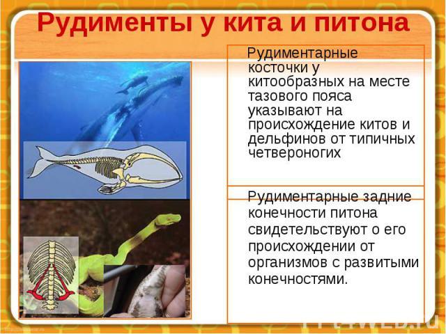 Рудименты у кита и питона Рудиментарные косточки у китообразных на месте тазового пояса указывают на происхождение китов и дельфинов от типичных четвероногих