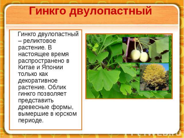 Гинкго двулопастный Гинкго двулопастный – реликтовое растение. В настоящее время распространено в Китае и Японии только как декоративное растение. Облик гинкго позволяет представить древесные формы, вымершие в юрском периоде.