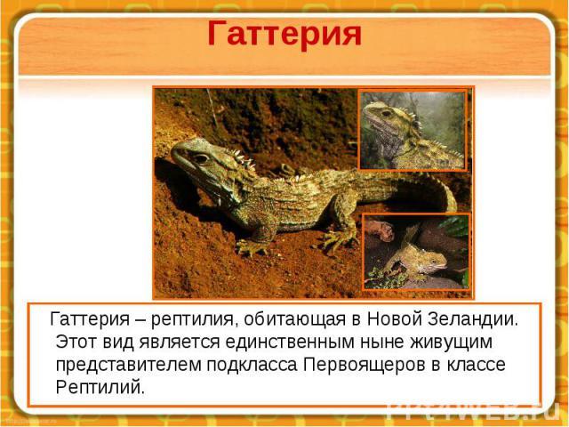 Гаттерия Гаттерия – рептилия, обитающая в Новой Зеландии. Этот вид является единственным ныне живущим представителем подкласса Первоящеров в классе Рептилий.