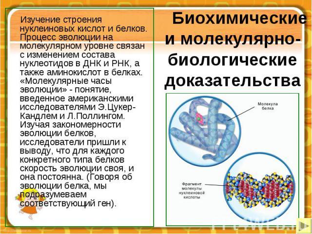 Биохимические и молекулярно-биологические доказательства Изучение строения нуклеиновых кислот и белков. Процесс эволюции на молекулярном уровне связан с изменением состава нуклеотидов в ДНК и РНК, а также аминокислот в белках. «Молекулярные часы эво…