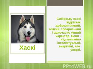 Сибірську хаскі відрізняє доброзичливий, м'який, товариський і одночасно живий х